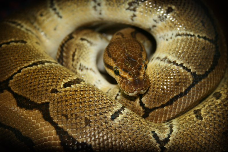 Python regius (Montecalderón, Guadalajara, 2014)